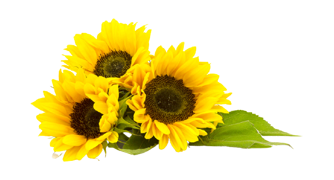 Sunflower PNG Images, Download 4200+ Sunflower PNG.🌻