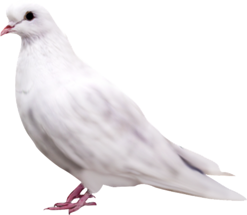 Flying 🕊️ Dove PNG Images | Vector and PSD Files.