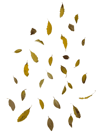 Fall Leaves PNG